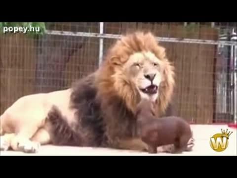 Kutya és oroszlán csókolózik