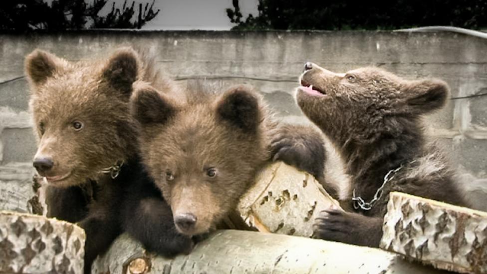 Először születtek nálunk medvék