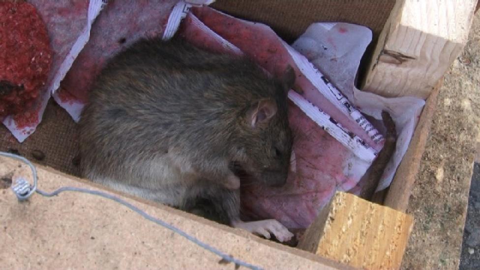 Méreggel a patkány nyomában