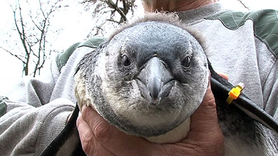 Dacosak a kis pingvinek, nem akarnak kézből enni