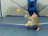 Pingpong macska