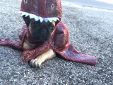 Mopsz kiskutya T. rex jelmezben