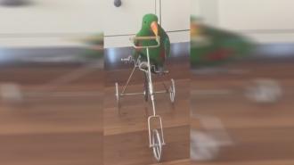 Láttál már bicikliző papagájt?