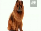 Dogs 101: Chow Chow