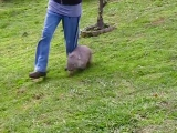 10 Practical Jobs For Wombats