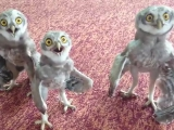 Happy three owls