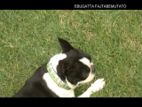 A Boston terrier - Graur Bulldogs kennel...